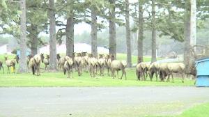 A Herd of Elk on Oregan Coast Near Seaside